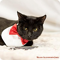 Domestic Shorthair Cat for adoption in Glastonbury, Connecticut - Mr. Mistoffelees