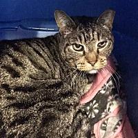 Domestic Shorthair Cat for adoption in Morgan Hill, California - Carlos