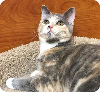 Domestic Shorthair Kitten for adoption in san diego, California - Ellie