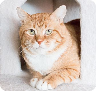 Domestic Shorthair Cat for adoption in Chicago, Illinois - Clyde
