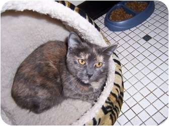 Domestic Shorthair Cat for adoption in West Dundee, Illinois - Gretchen