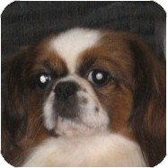 Pekingese/Japanese Chin Mix Dog for adoption in Mays Landing, New Jersey - Rodger-PA