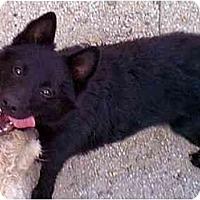 Adopt A Pet :: SKIPPER - dewey, AZ