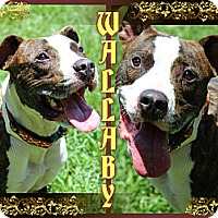 Adopt A Pet :: Wallaby - Tampa, FL