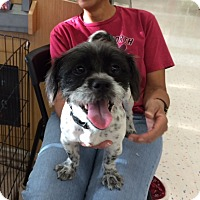 Adopt A Pet :: Abby - Corona, CA
