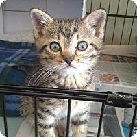 Adopt A Pet :: Spanky - Island Park, NY