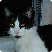 Domestic Shorthair Cat for adoption in Whiting, Indiana - Charlotte
