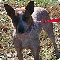 Adopt A Pet :: Copper - Lebanon, CT