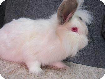 Lionhead Mix for adoption in Newport, Delaware - Sherbie