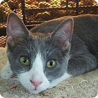 Domestic Shorthair Kitten for adoption in Fenton, Missouri - Matthew