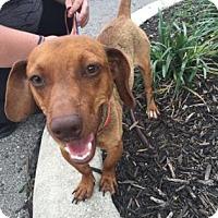 Adopt A Pet :: Petey - Redmond, WA