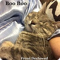 Adopt A Pet :: Boo Boo - Bentonville, AR