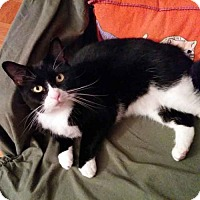 Domestic Shorthair Cat for adoption in Arlington, Virginia - Nisha