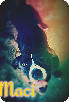 Pit Bull Terrier Mix Dog for adoption in Odessa, Texas - Maci