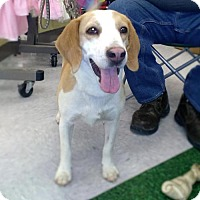 Beagle Mix Dog for adoption in Golden Valley, Arizona - Banjo