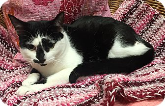 Domestic Shorthair Cat for adoption in Addison, Illinois - Pooty