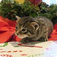 Domestic Shorthair Kitten for adoption in ROSENBERG, Texas - Juniper