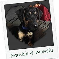 Black and Tan Coonhound/Shepherd (Unknown Type) Mix Dog for adoption in Hinesburg, Vermont - Frankie