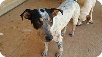 Australian Cattle Dog Mix Dog for adoption in Demorest, Georgia - Tootsie