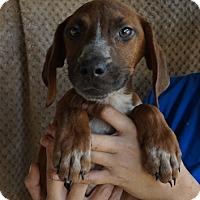 Adopt A Pet :: Taffy - Oviedo, FL