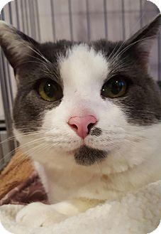 Domestic Shorthair Cat for adoption in Salisbury, Massachusetts - Hubble