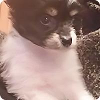 Adopt A Pet :: I'M ADOPTED Bab Nw Celebration - Oswego, IL