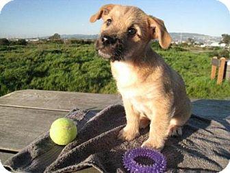Shepherd (Unknown Type)/Australian Kelpie Mix Puppy for adoption in San Francisco, California - Pharaoh