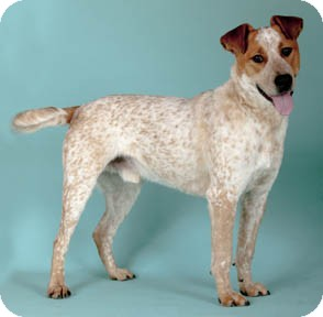 Australian Cattle Dog/Labrador Retriever Mix Dog for adoption in Chicago, Illinois - Manning