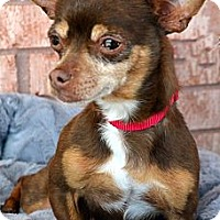 Adopt A Pet :: Maya-Adoption pending - Bridgeton, MO