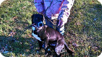 Labrador Retriever Mix Dog for adoption in Springfield, Virginia - Pepper