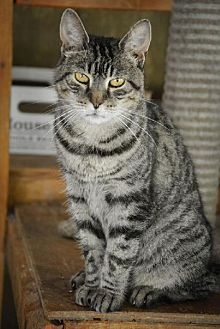 Domestic Shorthair Cat for adoption in Middletown, New York - Siobhan