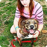 Boxer Mix Dog for adoption in Binghamton, New York - Mini