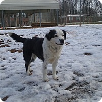 Australian Shepherd/Border Collie Mix Dog for adoption in Shelby, North Carolina - Spring