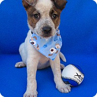 Adopt A Pet :: Ned Nederlander - Irvine, CA