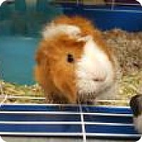 Adopt A Pet :: Rocko - La Grange Park, IL