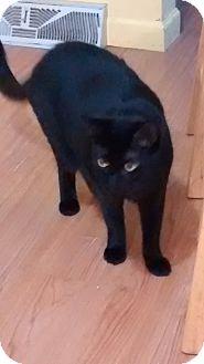 Domestic Shorthair Cat for adoption in Livonia, Michigan - Bella