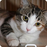 Domestic Shorthair Cat for adoption in South Saint Paul, Minnesota - Betty