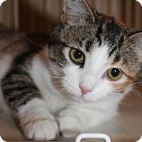 Domestic Shorthair Cat for adoption in South Saint Paul, Minnesota - Betty
