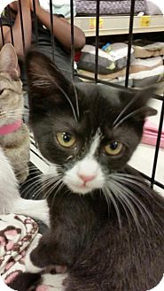 Domestic Shorthair Kitten for adoption in Williamston, North Carolina - Pinta
