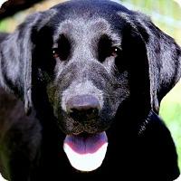 Adopt A Pet :: RAVEN(GORGEOUS PB LAB-PLS READ - Wakefield, RI