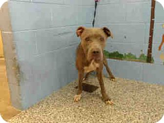 Pit Bull Terrier Dog for adoption in San Bernardino, California - URGENT ON 7/30  San Bernardino
