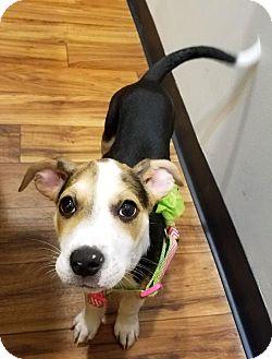 Beagle Mix Puppy for adoption in Alpharetta, Georgia - NatalieCole
