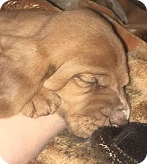 Bloodhound Mix Puppy for adoption in Fayetteville, Arkansas - Lexi