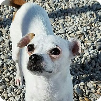 Jack Russell Terrier Mix Dog for adoption in Fort Worth, Texas - PIPPIN