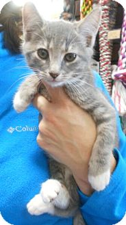 Domestic Shorthair Kitten for adoption in Reston, Virginia - Laila