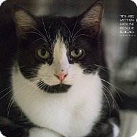 Domestic Shorthair Cat for adoption in Houston, Texas - BOOBOO