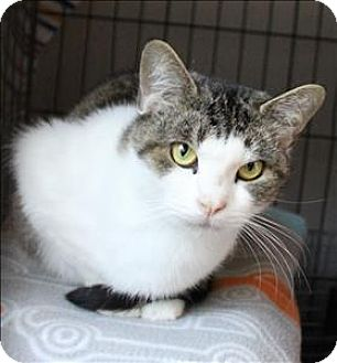 Domestic Shorthair Cat for adoption in Concord, New Hampshire - Janet
