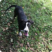 Adopt A Pet :: Daniel - St. Charles, MO