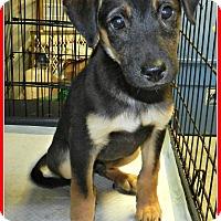 Adopt A Pet :: Doyle - Lawrenceburg, TN