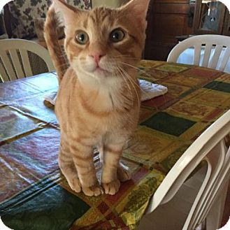 Domestic Shorthair Cat for adoption in Chicago, Illinois - Albert